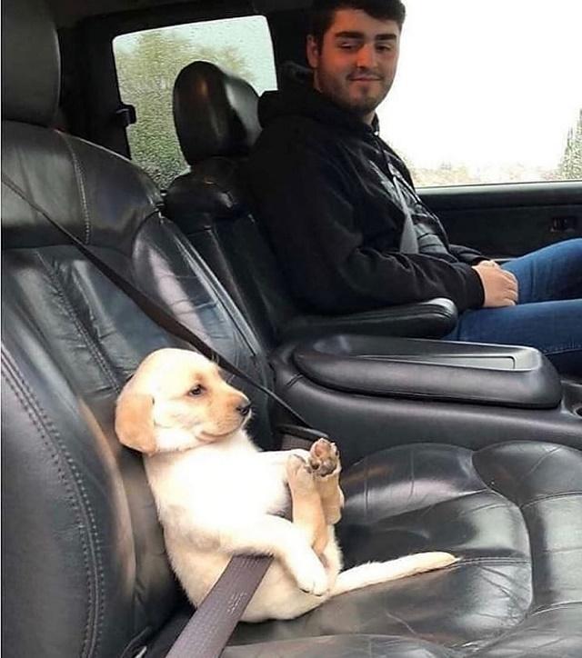 Filhote de labrador no carro