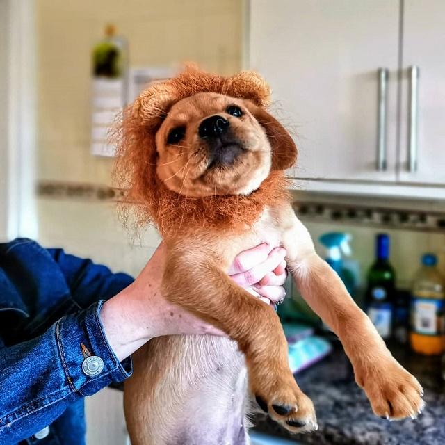 Labrador com juba de leão