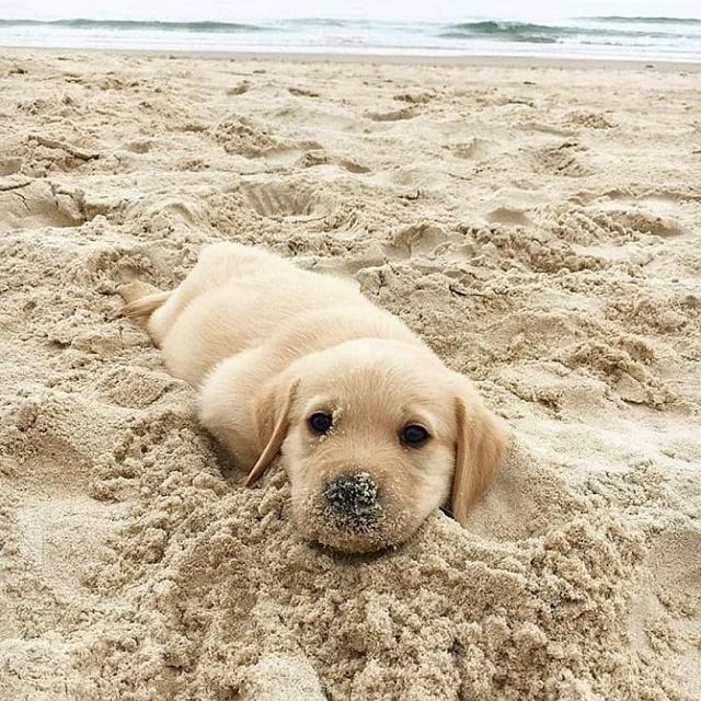 Labrador na praia