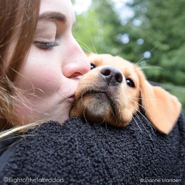 Labrador sendo beijado