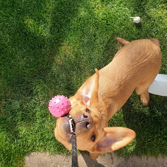 Labrador puxando brinquedo