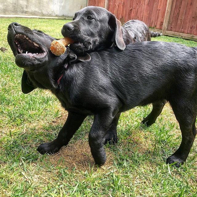 Labradores brincando