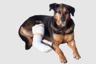 Politraumatismo em cães: Riscos, causas e como tratar