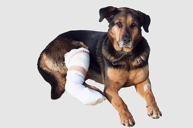 O politraumatismo em cães consiste em múltiplas lesões causadas pelo mesmo acidente