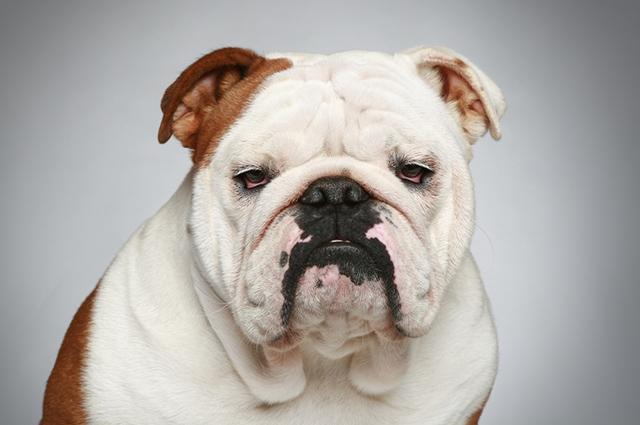 Cachorro da raça buldogue