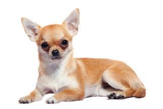 Personalidade e comportamento do chihuahua: 18 verdades
