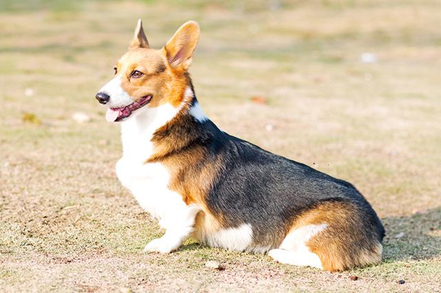 Cachorro da raça corgi sentado de lado