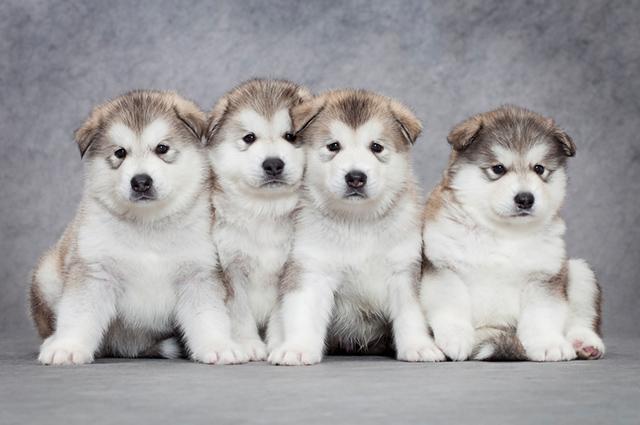 O malamute do Alasca é considerado um cão de porte grande