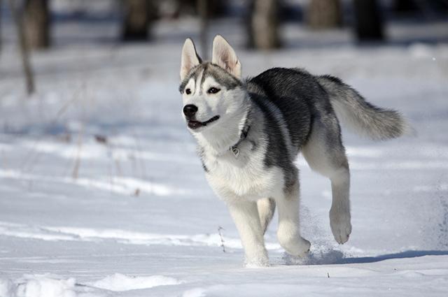 Faz parte da personalidade e comportamento do husky siberiano a resistência