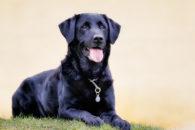 Personalidade e comportamento do labrador: 23 verdades