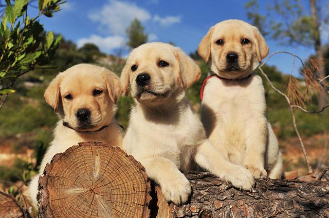 Trio de labradores filhotes