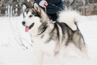Malamute do Alasca: 20 fatos sobre personalidade e comportamento