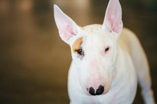 Personalidade e comportamento do bull terrier: 24 verdades
