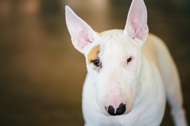 Bull terrier adulto