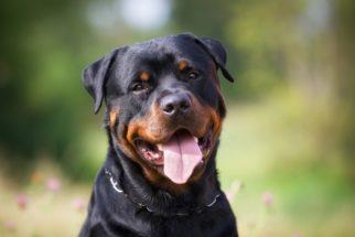 Personalidade e comportamento do rottweiler: 25 fatos que você talvez não sabia