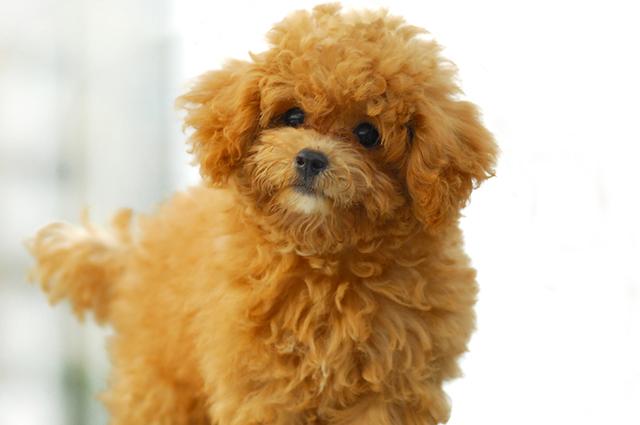 Faz parte do comportamento e personalidade do poodle gostar de agradar o tutor