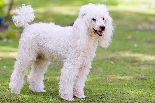 O poodle é considerado um cão leal à família, esperto e muito carinhoso
