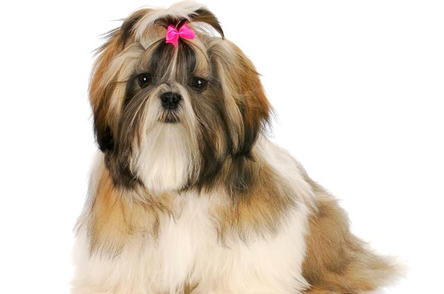 Cachorro da raça shih- tzu com laço na cabeça
