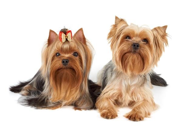 Dois yorkshire terrier