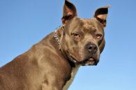 American staffordshire terrier: 20 verdades sobre personalidade e comportamento