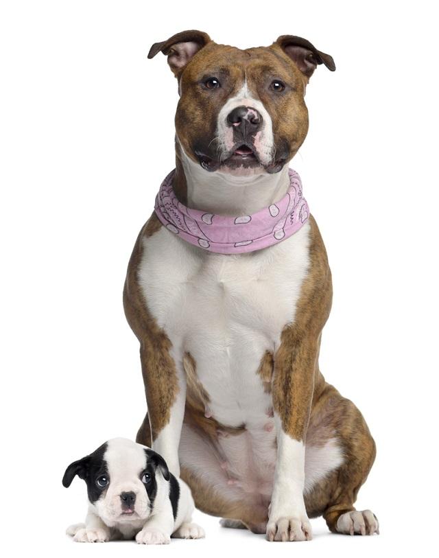 Cachorro da raça american staffordshire e filhote