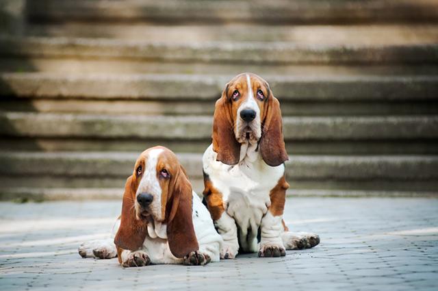Dois basset hound posando para foto