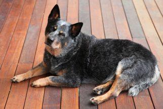 Boiadeiro australiano: 16 fatos sobre personalidade e comportamento