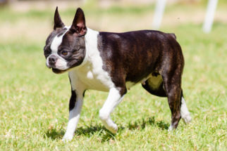 Boston terrier: 20 verdades sobre personalidade e comportamento