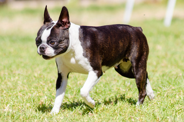Cachorro da raça boston terrier andando parque