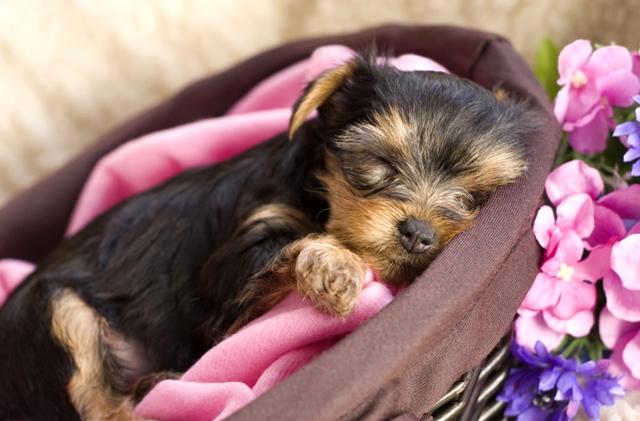 Filhote de yorkshire terrier