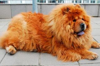 20 raças de cachorros mais peludos que existem