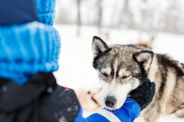 Husky Siberiano agouti