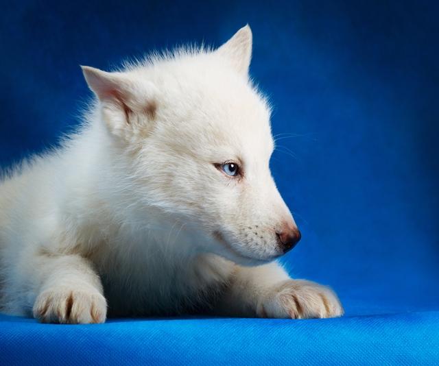 Husky Siberiano branco filhote