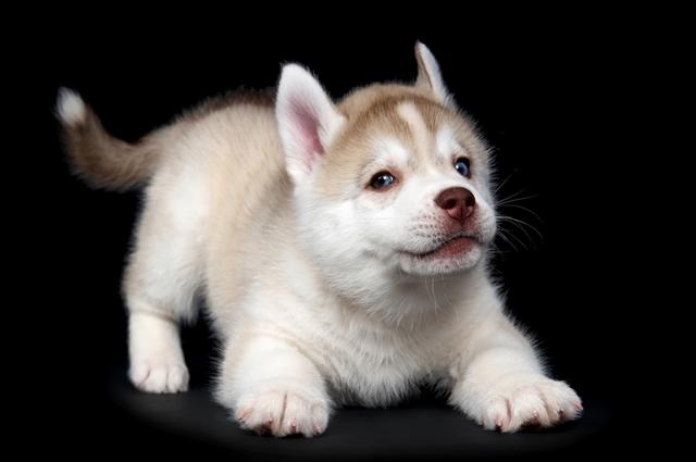 Husky Siberiano branco isabela
