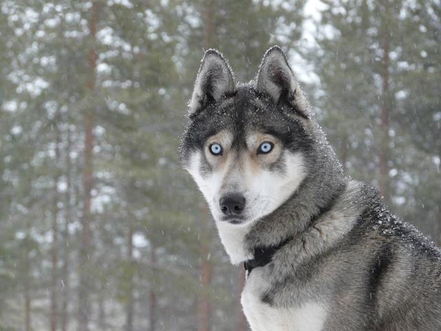 Husky Siberiano cinza