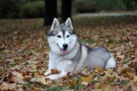 Cores do husky siberiano: Veja fotos e detalhes