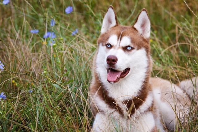 Husky Siberiano branco e marrom