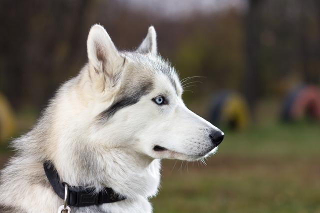 Husky Siberiano prata