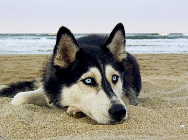 Husky Siberiano branco e preto