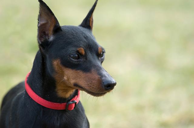 Cachorro da raça pinscher miniatura