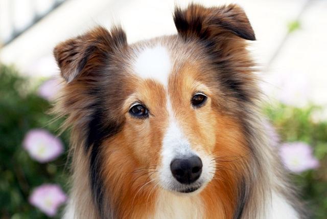 O pastor de Shetland é um cachorro que se adapta bem a famílias grandes ou pequenas