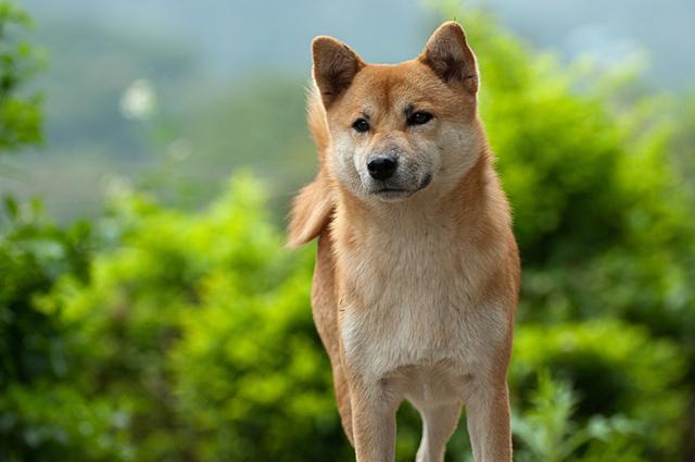 Cachorro da raça shiba inu observando