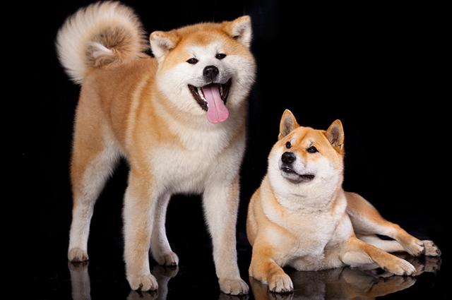 Dois cachorros da raça shiba inu, um sentado e outro em pé