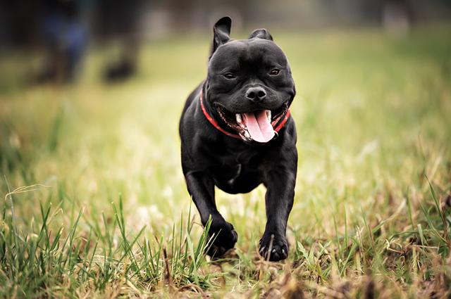 Staffordshire preto correndo