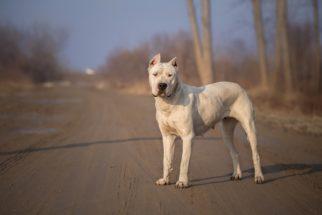 Dogo argentino: 13 fatos sobre personalidade e comportamento