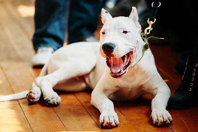 Dogo argentino deitado