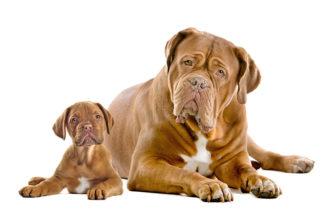 Dogue de Bordeaux (Dogue de Bordéus): Saiba tudo sobre essa raça