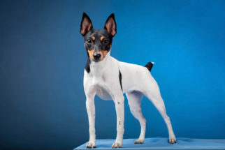 Fox paulistinha (terrier brasileiro): Saiba tudo sobre essa raça