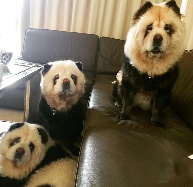 Chow chow panda adulto