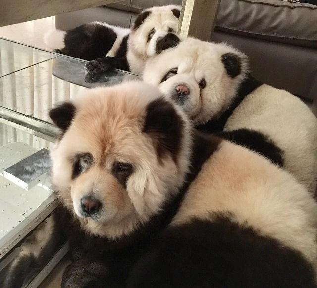 Três chow chows pandas